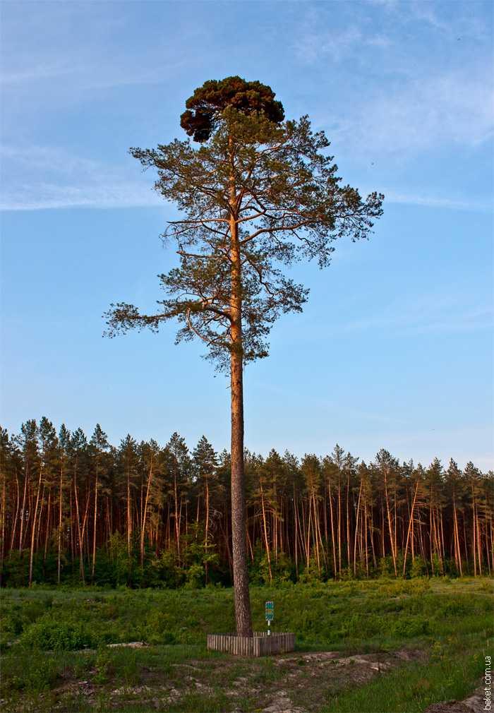 Памятник природы сосна «Ведьмина метла» в селе Дубиевка