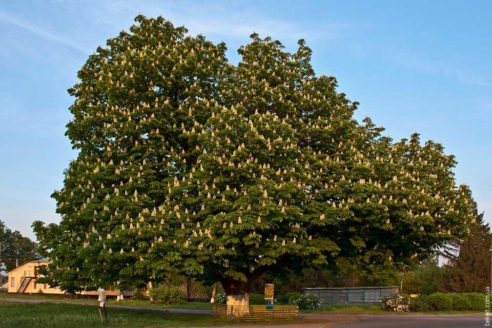 Памятник природы вековое дерево каштан в селе Дубиевка